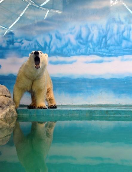 从韩国首尔动物园引进的北极熊在经过45天的隔离检疫