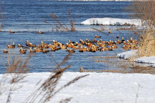 今年,仅在长白岛越冬的野鸭已经超过5000只以上.