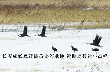 长春成候鸟迁徙重要停歇地 近期鸟数达小高峰
