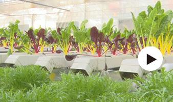 无土栽培 尽显高新农业多元化