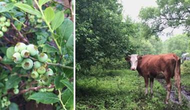 你有阿尔卑斯的牛,我有长白山下的莓