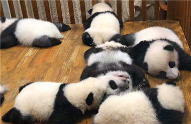 #成都大熊猫繁育研究基地 #我的肚子好饿 早饭,午饭,下午茶,晚饭,夜宵...