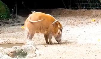 咦,这是什么猪