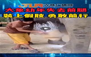 大象幼年失去前腿 装上假肢 勇敢前行
