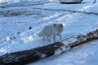 太萌啦!净月潭出现小白狐