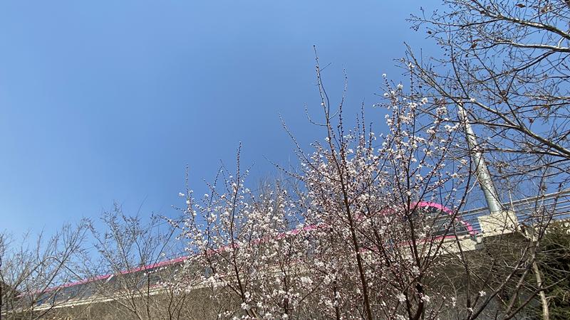 阳光四月 长春街头树绿了、花开了