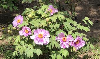 长春市牡丹园里的牡丹花正在绽放