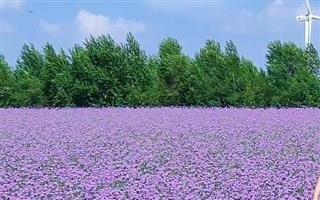 """暑期打卡查干湖花海的美丽""""花""""卷"""